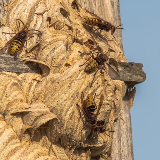 nid de frelons